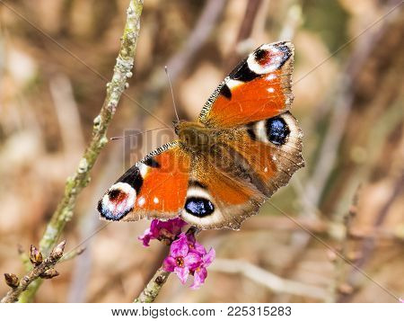 Adorable peacock butterfly perched on a bush branch with purple blossoms