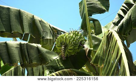 Green bananas on a tree. Banana flower on the tree. Bunch of bananas on tree.