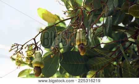 Cashew fruits with nut Anacardium occidentale growing on a tree.Cashew nuts growing on a tree This extraordinary nut grows outside the fruit. Busuanga, Palawan, Philippines