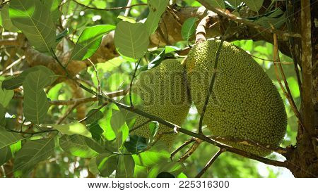 Jackfruit Tree and young Jackfruits. Tree branch full of jack fruits. Philippines, Palawan, Busuanga.