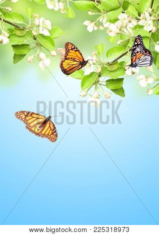 Flowers of apple and monarch butterflies (Danaus plexippus, Nymphalidae). On blue sky background. Copy space for your text
