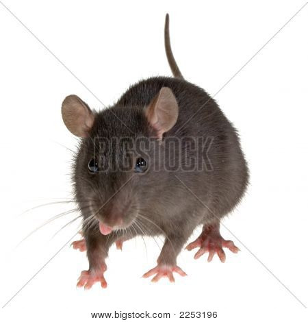 a little decorative rat with tongue hanging out isolated on white background poster