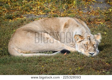 The Drowsy Lioness At Zoo. Beautiful Sleeping Lioness In Natural Background. Safari Animals.