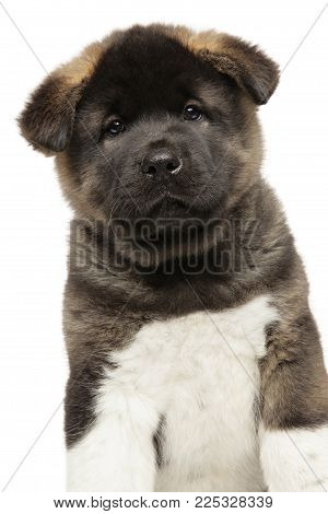 Close-up Of American Akita Puppy
