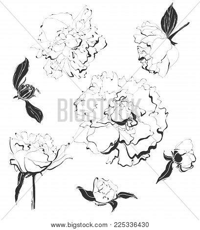 Vector hand drawn set of peonies. Vintage flowers illustration. Black on white.
