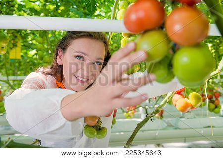 young professional botanist reaches for fresh tomatoes in a green house