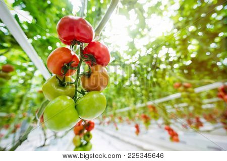 trusses of green and red tomatoes growing in a greenhouse ready for to harvest