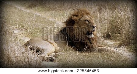 Lion in the sabana of Africa observing