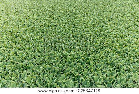 aquatic plants camalotes known as water repollitos