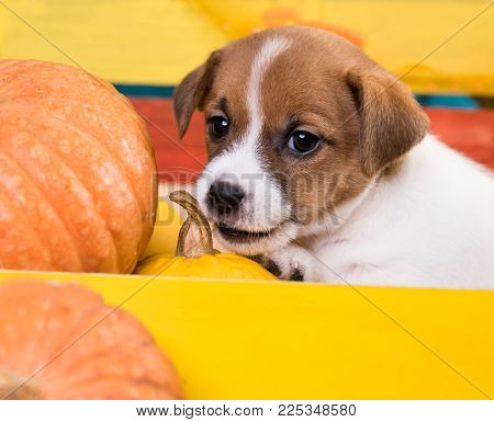 dog sharpens his teeth, gnaws a pumpkin puppy teeth are cut