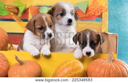 Jack Russell Terrier Litter Puppies