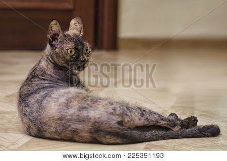 Domestic cat lies on the floor in familiar surroundings.