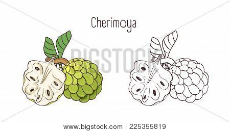 Elegant colored and monochrome contour drawings of cherimoya or custard apple. Whole and split ripe juicy delicious fruits isolated on white background. Beautiful hand drawn vector illustration