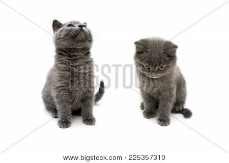 fluffy gray kittens on white background. horizontal photo.