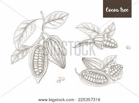 Collection of botanical drawings of whole and split ripe pods or fruits of cocoa tree, branches and leaves hand drawn with contour lines on white background. Vector illustration in vintage style
