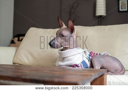 A Mexican Hairless Dog in the interior on the sofa