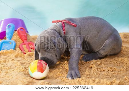 Great Dane Puppy Smelling A Beach Ball On The Sand