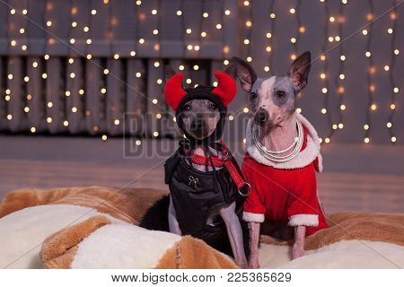 Two american hairless terrier is sitting in a beautiful clothes on a background of Christmas lights . Pet animals. Traditional holidays.