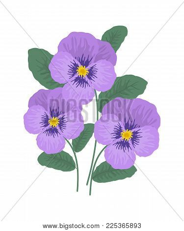 Purple pansy flowers on a white background. Vector illustration.