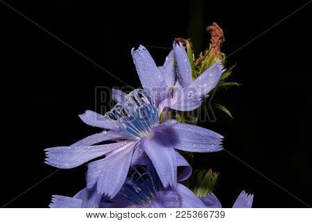 Beautiful chicory flowers is growing on a green meadow. Live nature. Summer morning.
