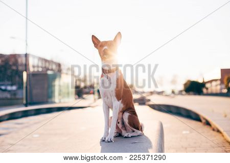 Cute and adorable dog pet sits on bench in park or street outdoors, with epic beautiful sunlight beams and flares behind. Basenji breed puppy poses to camera, brave and proud attitude