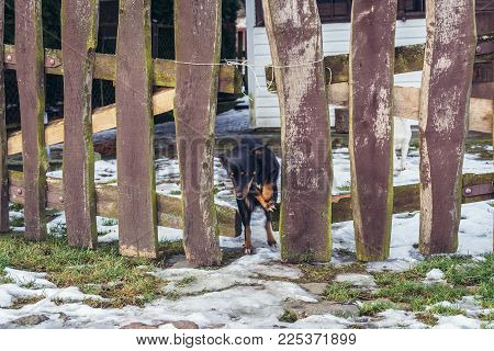 Dog Passing Wooden Gate In Waniewo Village, Podlasie Region Of Poland