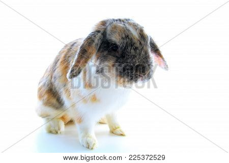 Rabbit bunny tricolor lop eared dwarf on white background..
