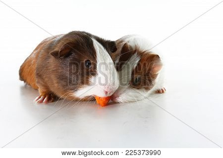 Guinea pig on studio white background. Isolated white pet photo. Sheltie peruvian pigs with symmetric pattern. Domestic Cavia porcellus or cavy.