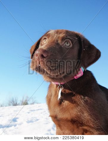 cute chocolate labrador puppy sitting outside in the snow on a sunny winter day
