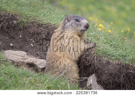 Alpine marmot in the natural environment. Dolomites. Italy.
