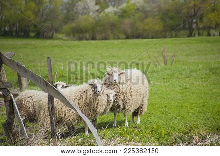 Grazing White Sheep With Black Spots On Their Eyes. Herd Of Sheep Behind Broken Wooden Fence On Gree