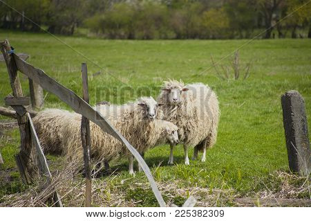 Grazing white sheep with black spots on their eyes. Herd of sheep behind broken wooden fence on green meadow