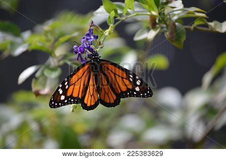Lovely Coloring of this Viceroy Butterfly in Nature