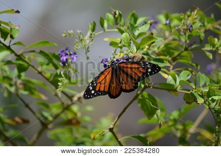Precious Viceroy Butterfly Flying Around in Nature