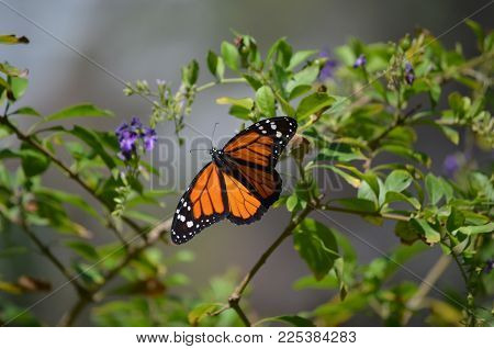 Beautiful Viceroy Butterfly with Amazing White Markings
