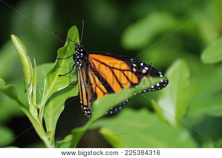 Beautiful Wings on a Viceroy Butterfly in Nature