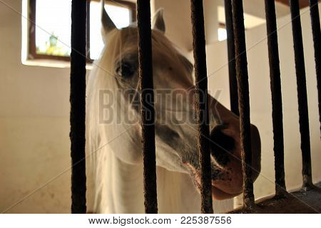 White Arabian Horse Stands In The Largest Polish Stables In Janow Podlaski.