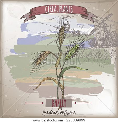 Barley aka Hordeum vulgare color sketch with field landscape. Cereal plants collection. Great for bakery, agriculture, farming design.