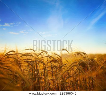 Wheat field.Ears of golden wheat field with blue sky in background