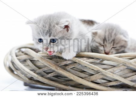 Little Fluffy Grey Funny Kitten Meowing And Looking Down While Sitting In White Wicker Wreath Togeth
