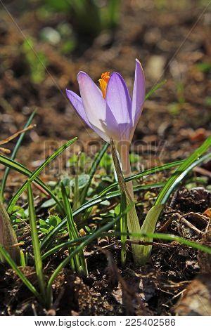 Crocus Purple Spring Flower In Garden. Rare Winter Flower. Iridaceae Crocus Heuffelianus. Yellow And