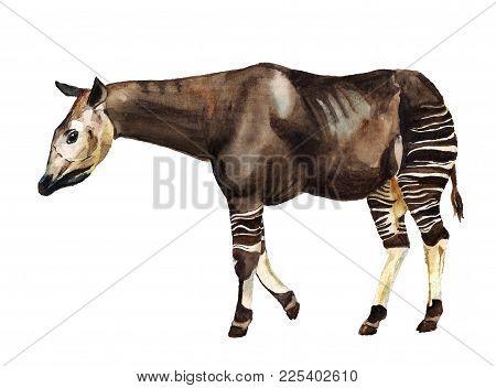 Watecolor Image Of Forest Giraffe Okapi On White Background