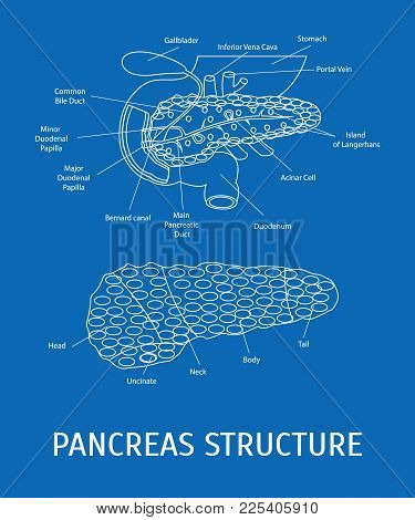 Structure Of A Pancreatic Gland Internal Organ In A Cut Part Of System Thin Line Style Design. Vecto