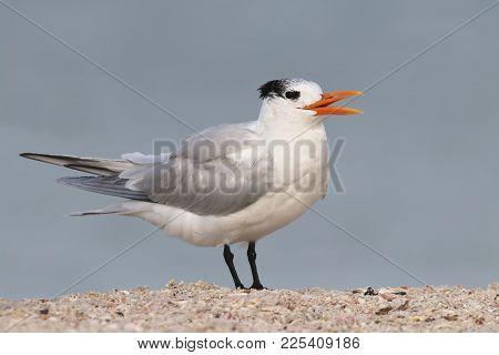 A Royal Tern, Thalasseus Maximus In Non Breeding Plumage Calling On A Beach With The Ocean In The Ba