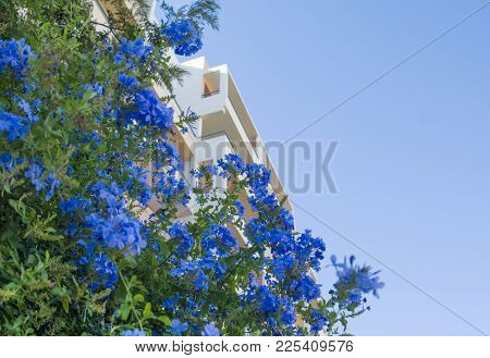 Plumbago, Cape Plumbago, Plumbago Auriculata, Cape Leadwort, Evergreen Shrub Often Climbing With Glo