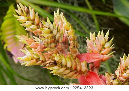 Bromeliad Or Bromeliaceae Plant Closeup Of Aechmea Genus With Flowers In Full Bloom