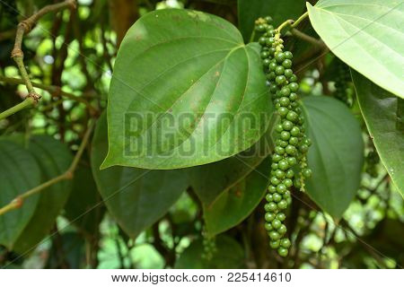 A Black Pepper Plant In Sri Lanka