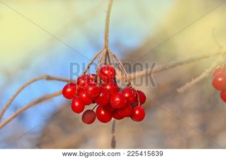 Viburnum Berries Outdoor. Branch Of Viburnum