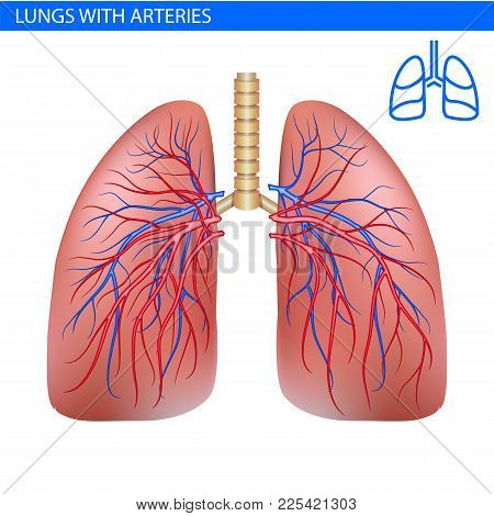 Human Lungs Anatomy With Artery, Circulatory System Realistic Illustration Front View In Detail. Lun