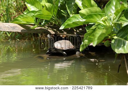 The Pond or Swamp turtles in Sri Lanka